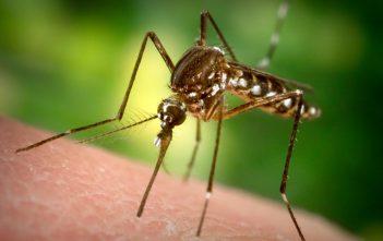piqure de moustique suceur de sang
