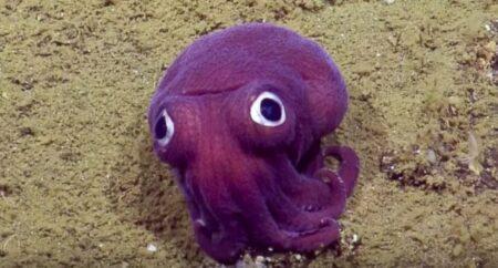 Rossia pacifica, la pieuvre violette qui ressemble à un pokemon