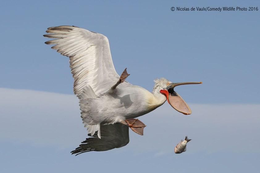 comedy-wildlife-photo-2016-01-pelican
