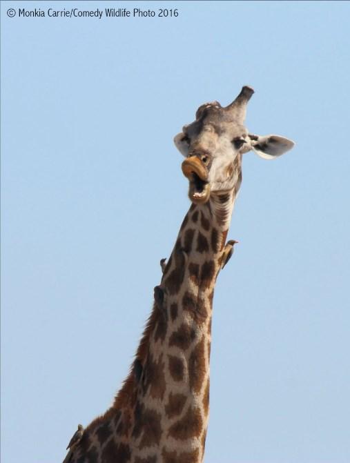 comedy-wildlife-photo-2016-08-girafe