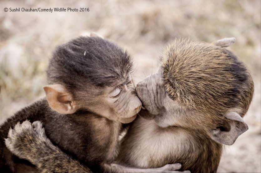 comedy-wildlife-photo-2016-10-singes