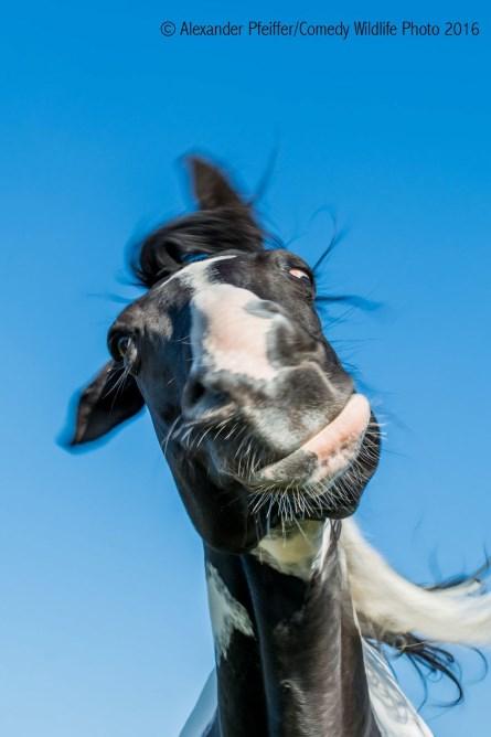 comedy-wildlife-photo-2016-12-cheval
