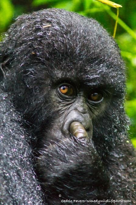 comedy-wildlife-photo-2016-16-gorille