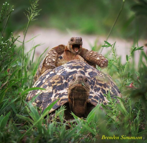 comedy-wildlife-photo-2016-17-tortue