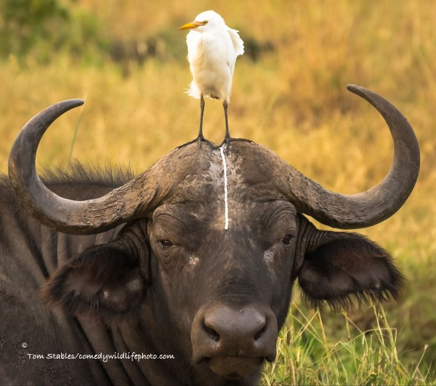 comedy-wildlife-photo-2016-20