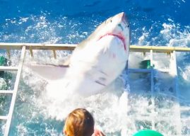 Vidéo : un grand requin blanc entre dans la cage d'un plongeur