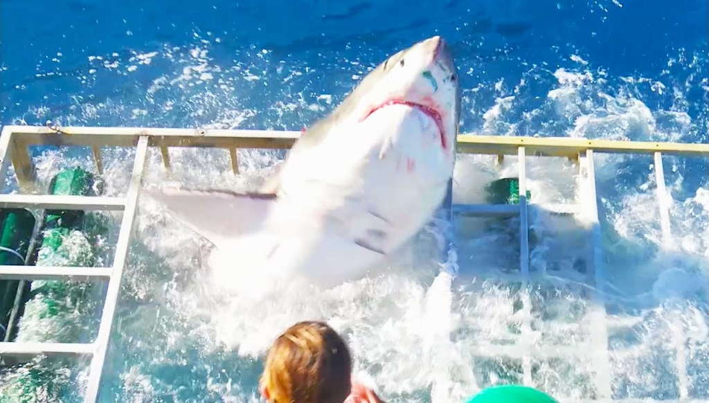 un requin attaque un plongeur dans sa cage