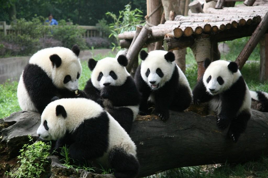 pandas chengdu chine
