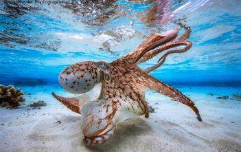La pieuvre dansante - Gabriel Barathieu