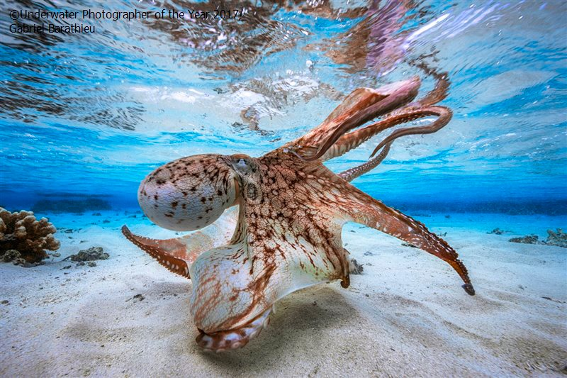 La pieuvre dansante : le prix de la plus belle photo sous-marine 2017 - par le français Gabriel Barathieu