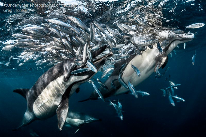 Behaviour HIGHLY COMMENDED: Dolphins hunting by Greg Lecoeur