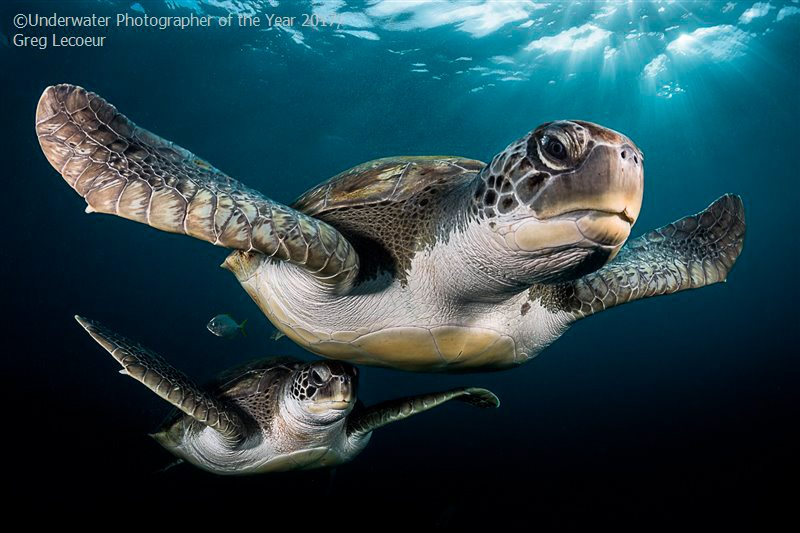 Portrait COMMENDED: Green Turtles in the rays by Greg Lecoeur