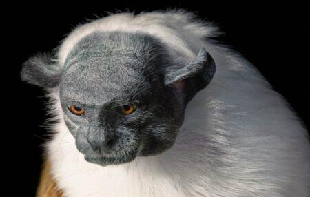 Le Tamarin bicolore, un animal en voie d'extinction - Tim Flach