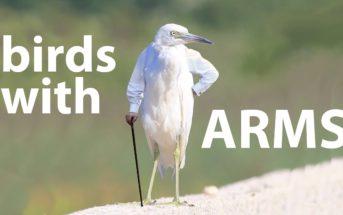 Vidéo WTF : et si les oiseaux avaient des bras ?