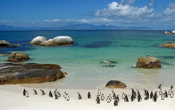 Les manchots de la plage de Boulders Beach en Afrique du Sud