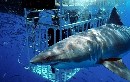 Plongée en cage avec des requins à Gansbaai Afrique du Sud