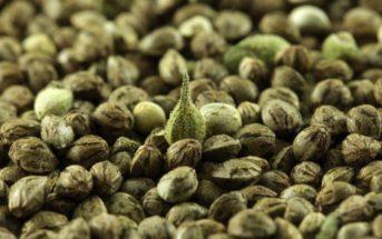Est-ce légal d'acheter des graines de cannabis en France ?