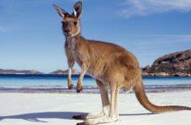 kangourou sur la plage en Australie
