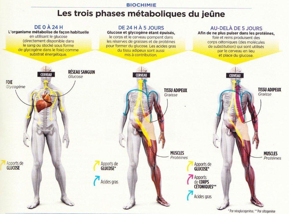 schéma : le jeune, effet sur la santé et le corps (biologie)