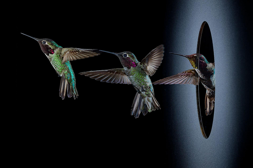 Les mouvements d'aile du colibri face à un obstacle