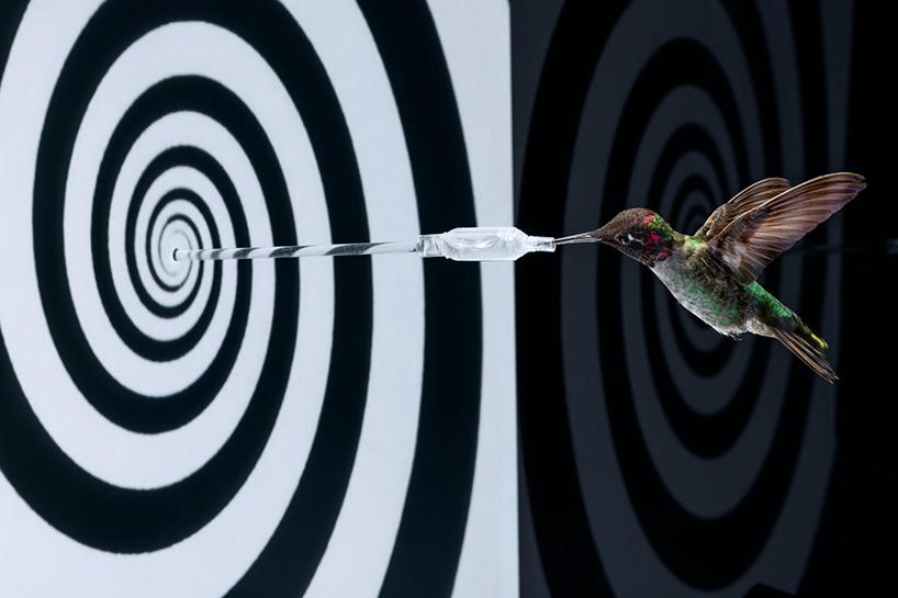 Vol stationnaire du colibri en train de boire