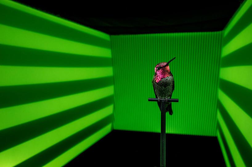 champ visuel du colibri