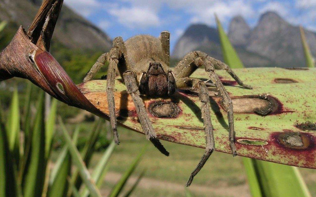 La molécule PnPP-19, contre les troubles de l'érection, est issue du venin de Phoneutria nigriventer (araignée-banane).