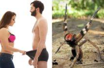 Le venin de l'araignée banane : alternative au viagra pour remédier aux troubles de l'érection