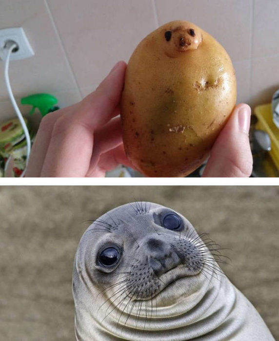patate qui ressemble à un phoque