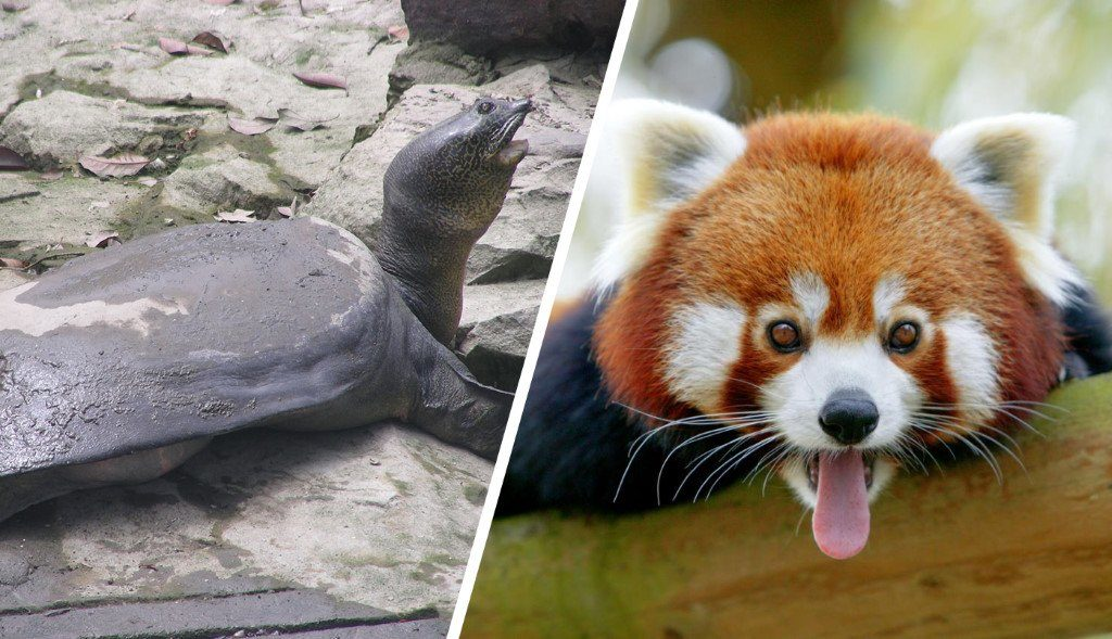 animal mignon vs moche en voie d'extinction : Tortue géante à carapace molle du Yangtze et panda roux