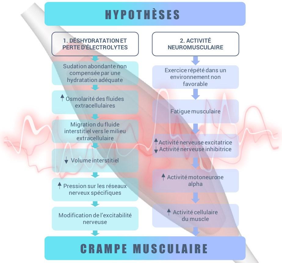 Schéma : explications et hypothèses sur les causes des crampes musculaires