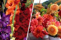 Glaïeuls et dahlias : fleurs de jardin