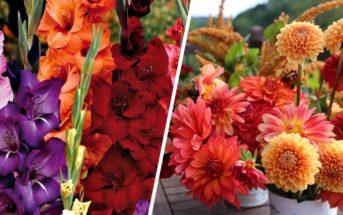 Glaïeuls et dahlias : nos conseils pour cultiver ces fleurs de jardin tendance