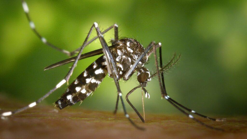 piqûre du moustique tigre