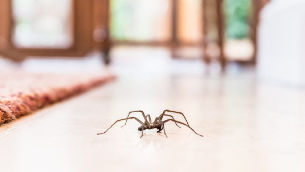 Araignée de maison