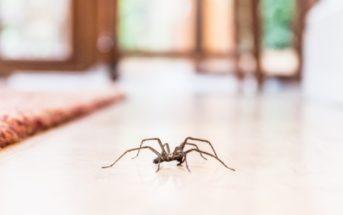 Pourquoi faut-il vivre avec les araignées de maison ?