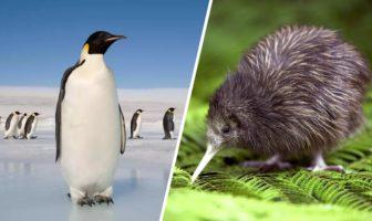 le manchot et le kiwi oiseaux inaptes au vol