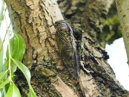 Cigale sur un arbre
