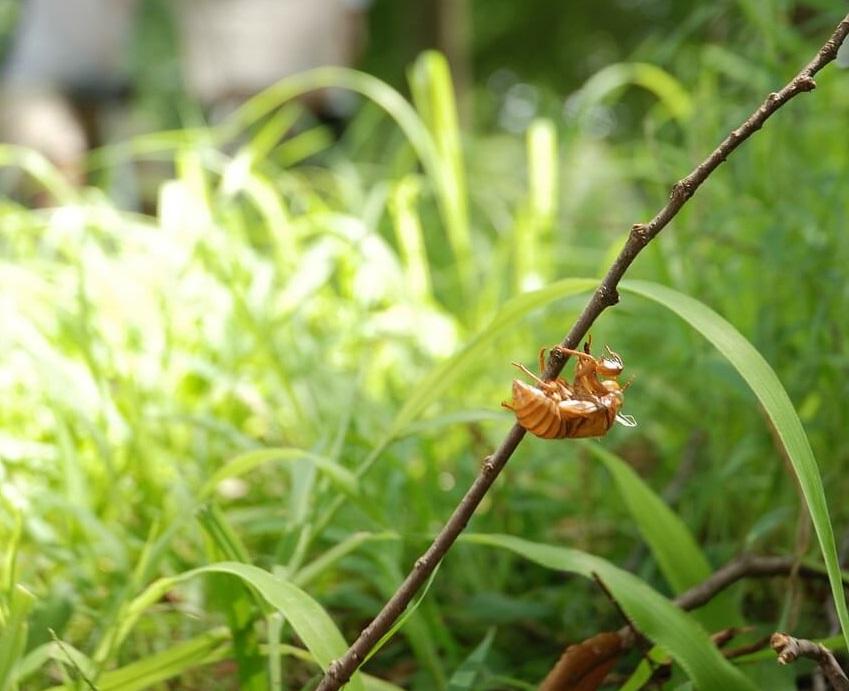 larve de cigale