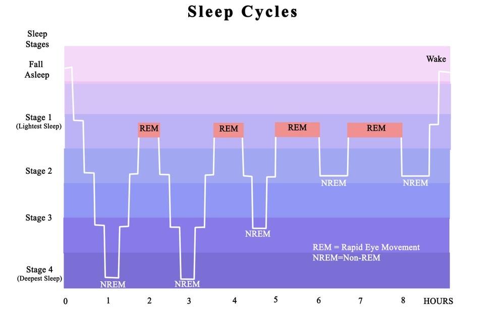 schéma des cycles du sommeil