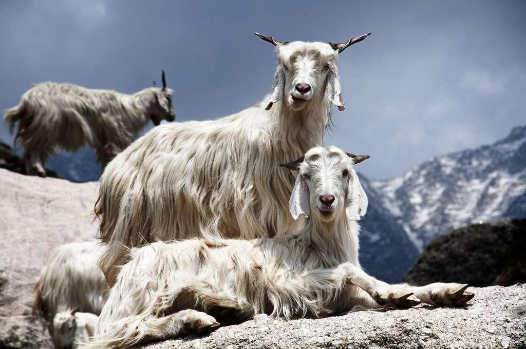 Chèvre cachemire et textile