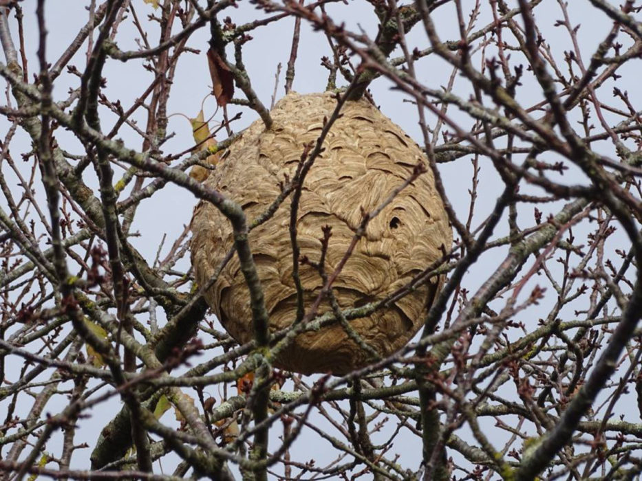 Un nid de frelons
