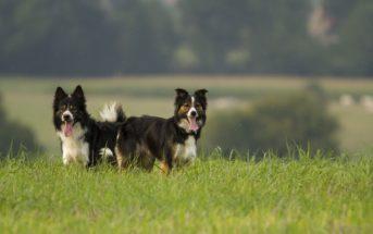 Les 10 races de chiens les plus intelligents