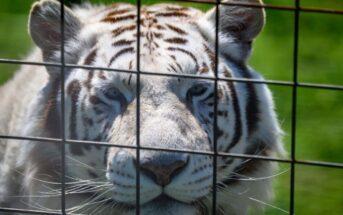 Zoo : une cage dorée? Focus sur la vie animale dans les parcs