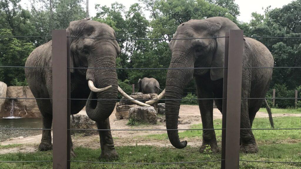 Des éléphants dans une clôture