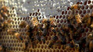 abeilles-trypophobie